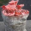 grzybnia boczniaka różowego